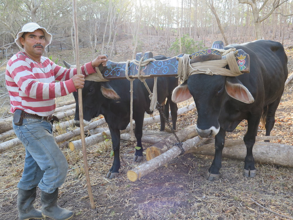 This team of adorable oxen hauled the plantation teak trees out of the dry forest. Trained to listen to voice command, they were an impressive team. It took five people to lift one of these heavy hardwoods.