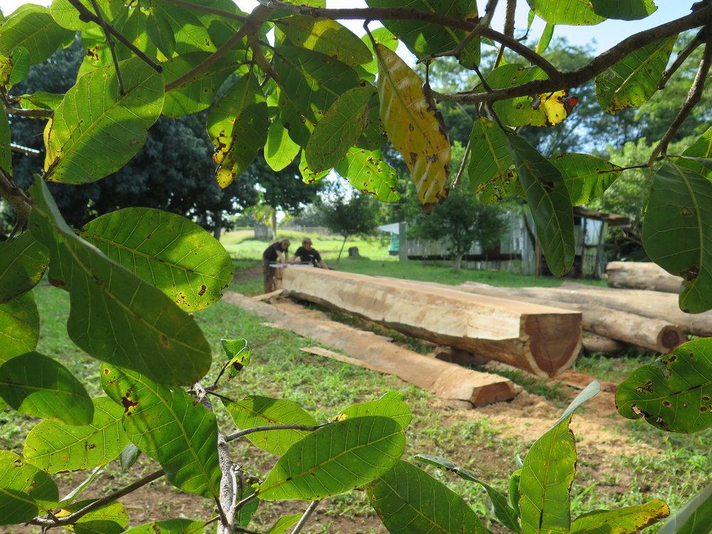 Luuk & Gero sawing  tamarindo  through the cashew tree (marañon) leaves.