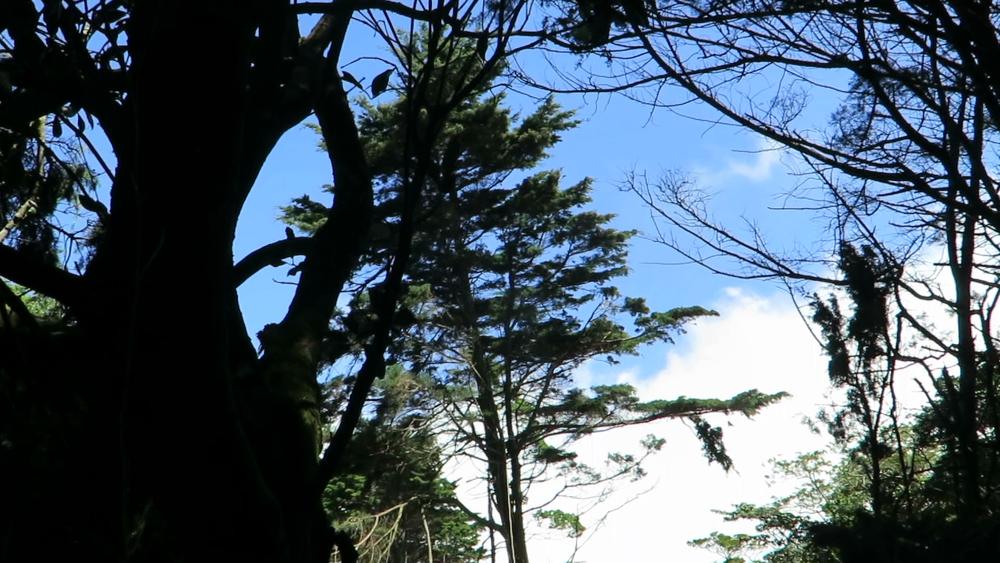 A big cypress mid-fall on its way down. Photo: Finn Richardson