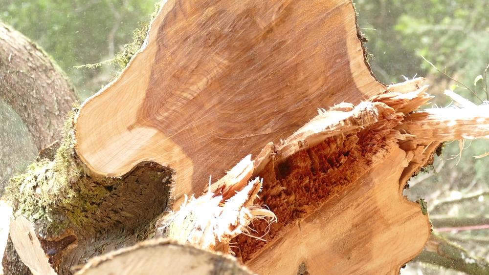 Cut cypress in the sunlight.