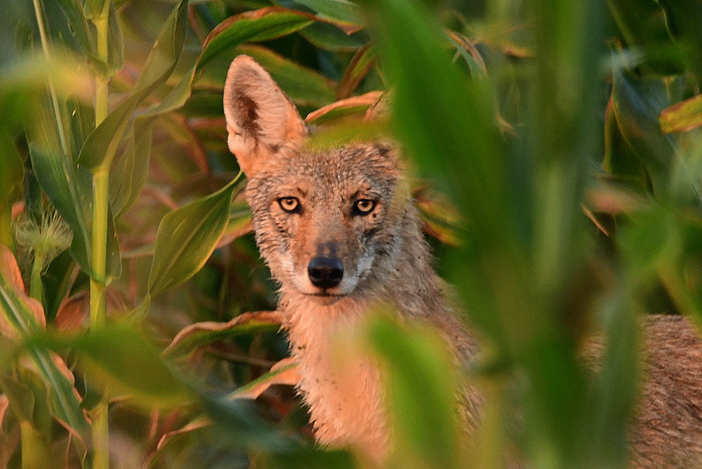 Lone Coyote in Cornfield - Photography by Kareen King