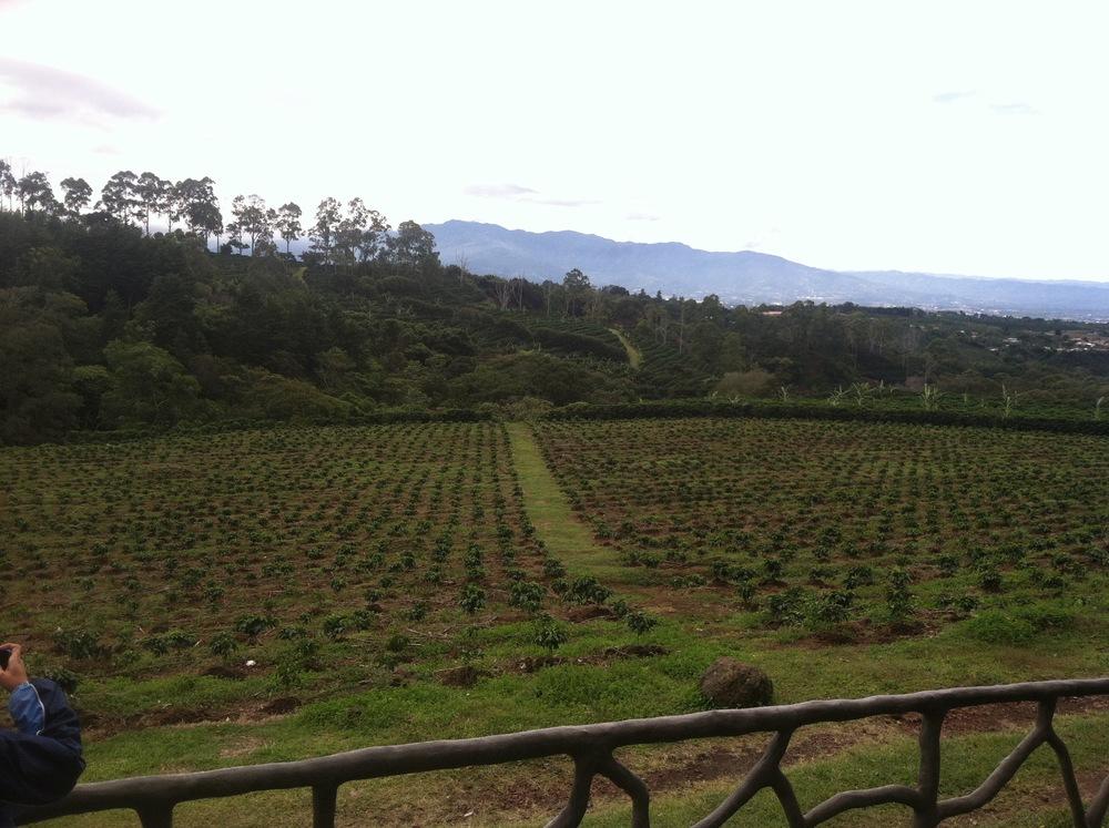 A coffee plantation in Costa Rica.