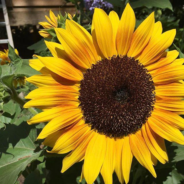 #gardens #sydney #stonecraftgardens #summer #sunflower #lovingtheweather #hotday #flowers #inthebackyard