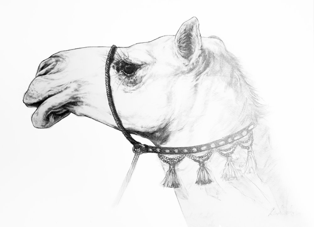 Portrait Study of an Asayel Camel. 2018. Graphite on Watercolour Paper (30 x 42cm) SOLD