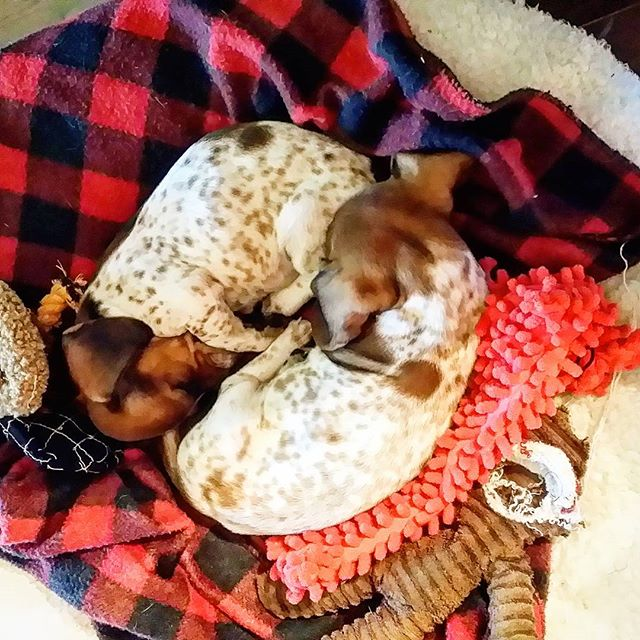 Then there were 4! I couldn't decide between these 2 sisters so I adopted both. I'm in puppy heaven!  #minidachshund #puppybliss #sisters #ilovedachshunds