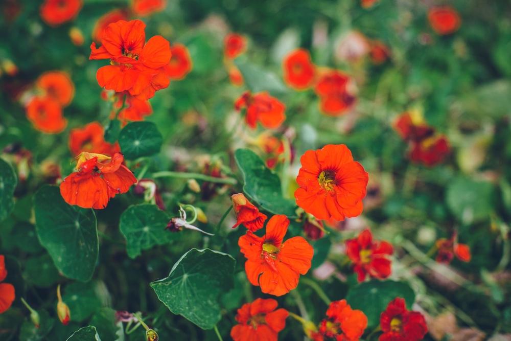 nasturtiums.jpg