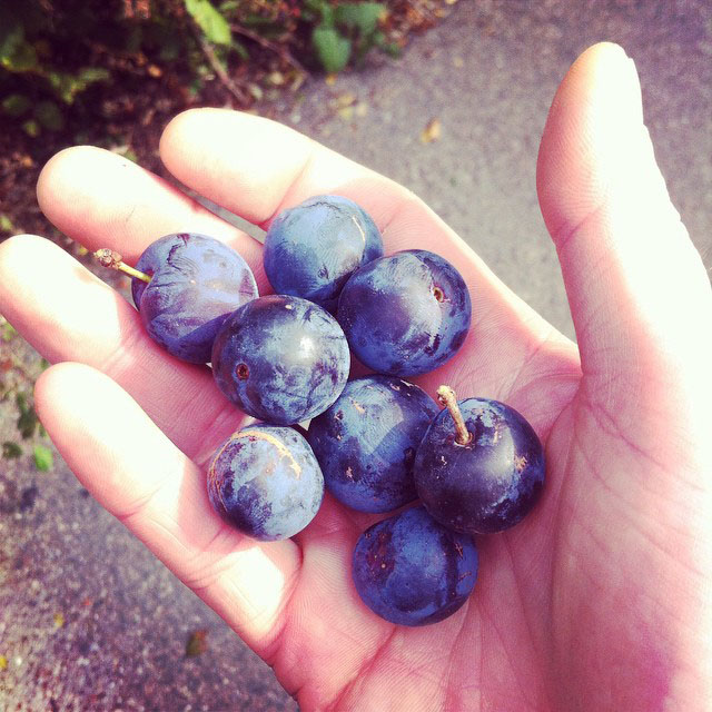 handful of damsons.jpg