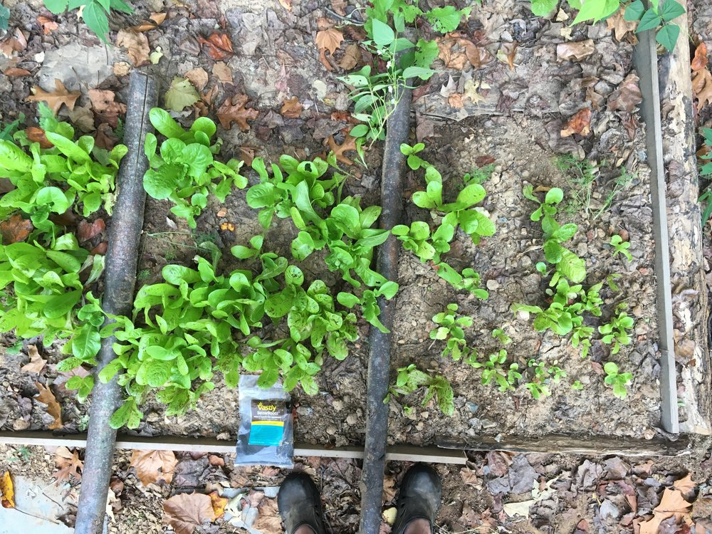 Above: Mustard greens that were grown in a raised bed without the help of any fertilizer or biostimulant.  Below: Mustard greens grown with Vastly biostimulant.