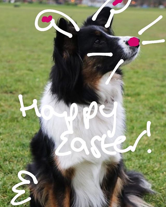 Happy Easter 🐰 #Easter #Dog #Dogs #adoptdontshop #RescueDog #collie #colliesofinstagram #longweekend #wildatheartfoundation