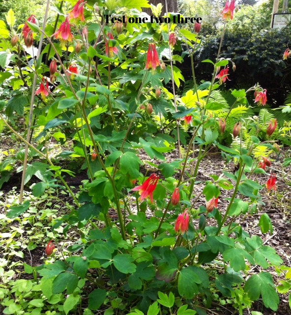 Native columbine (Aquilegia canadensis)