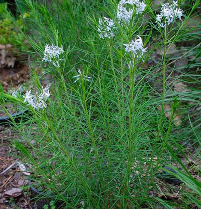 Threadleaf bluestar (Amsonia hubrichtii)