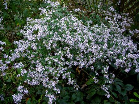 Blue wood asters (Symphyotrichum cordifolium)