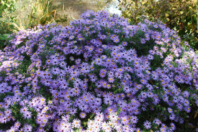 Aromatic aster (Symphyotrichum oblongifolium 'October Skies')