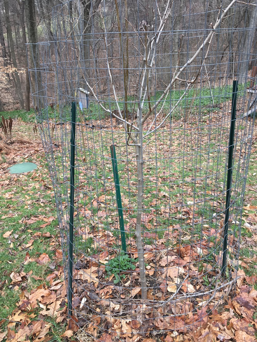 Simple metal garden stakes and galvanized wire will protect young trees while they get established. Once a tree is over 5' tall, the deer will not be able to reach the higher foliage for grazing. Black wire or plastic mesh often blends well with surroundings. -