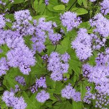 Purple mist flower (Conoclinium coelestinum)