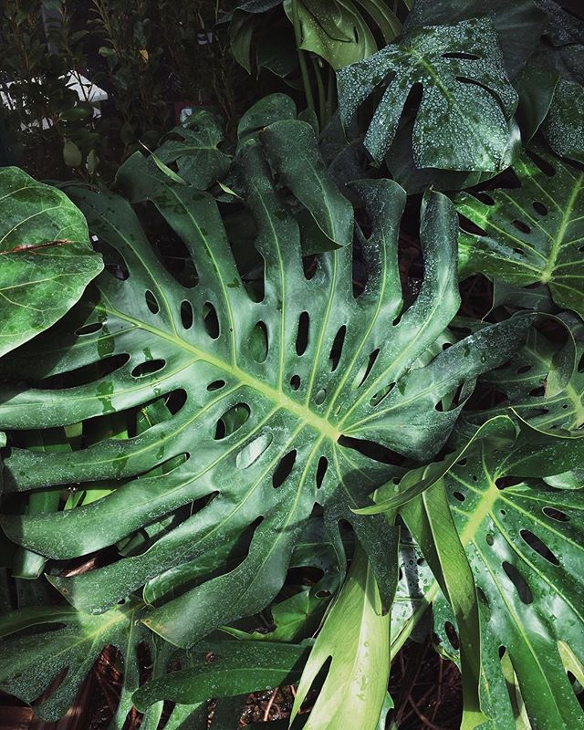 We discovered this #monstera at the weekend in a garden centre greenhouse- we were told it had been rescued from a lady as it had grown too huge for her house!! Wonder how long she'd had it for 🤔🌿 - #monsteramonday