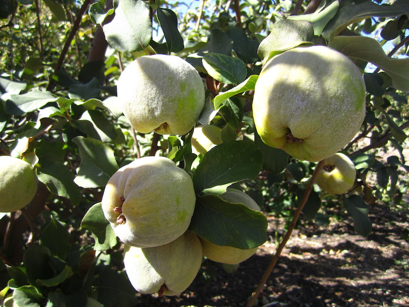 Quince on tree-sm.jpeg