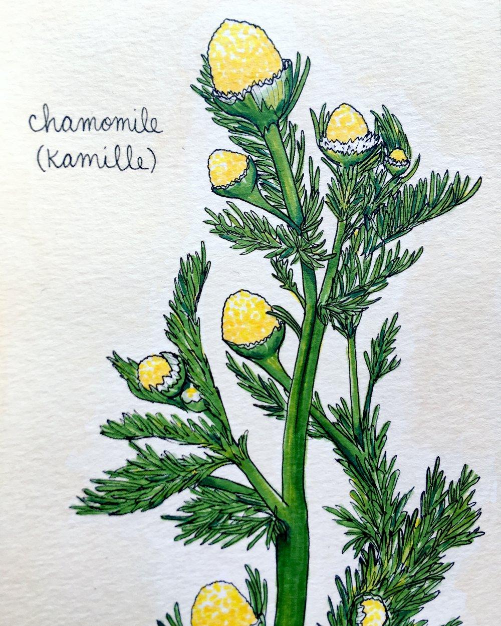 66_Chamomile.JPG