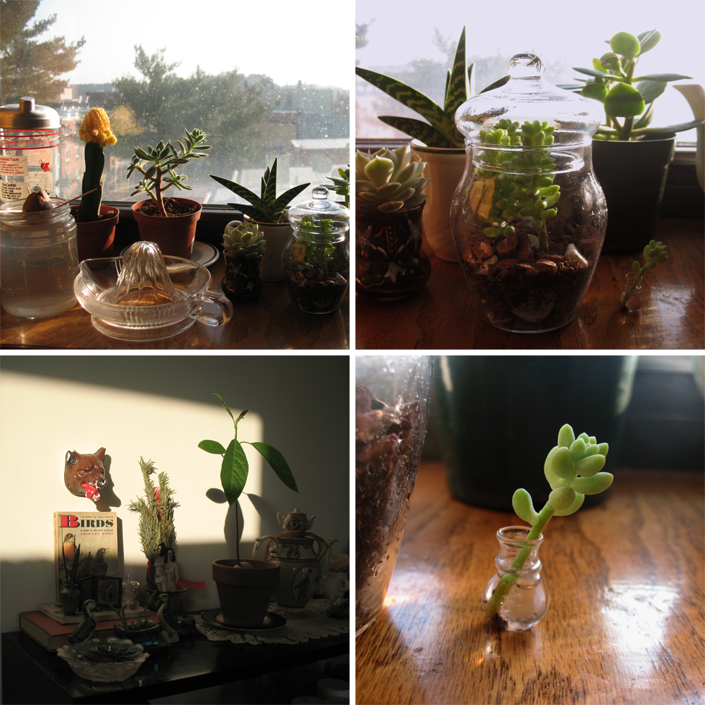 Working on the plant collection.  The extraordinarily phallic cactus in the first photo is a moon cactus.  The little succulent in the last photo is only about an inch tall (he broke off when I was repotting the rest of the plant).