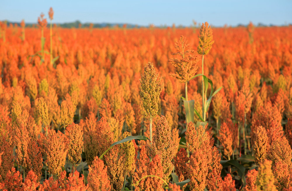 Un magnifique champ de sorgho. Les couleurs sont plutôt vibrantes, ne trouvez-vous pas?