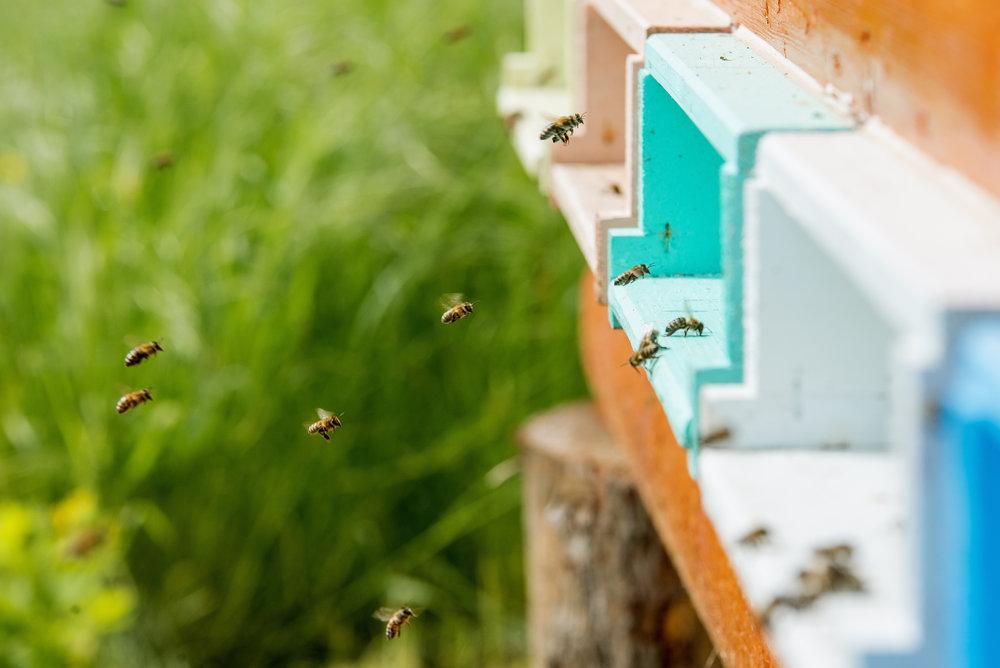 Apiculture Apiculteur Abeille HoneyBee Bees Feedthebees.ca Hubert Cormier Nutritionniste