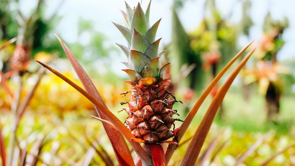 Un bébé ananas qui pousse dans un champs en Thaïlande