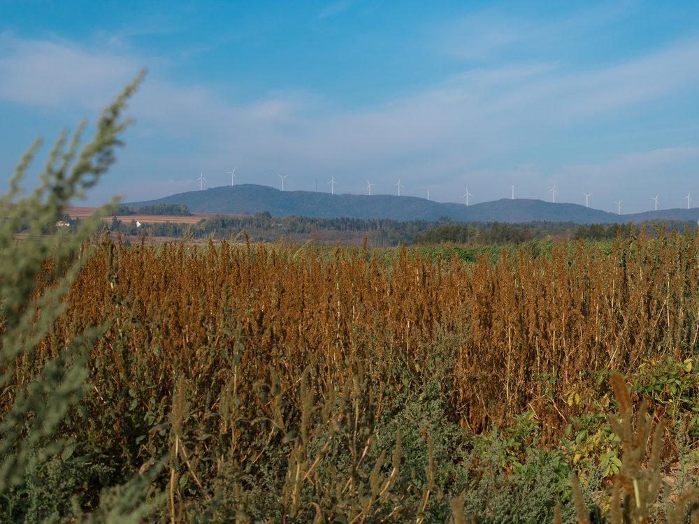 Les champs de pommes de terre que nous avons visités à Wicklow, une petite municipalité du Nouveau-Brunswick à deux pas de Florenceville-Bristol,sont situés non pas loin du parc d'éoliennes de la Colline de Mars, située aux États-Unis. En effet, la ville est à proximité de la frontière américaine. Photographie : Hubert Cormier