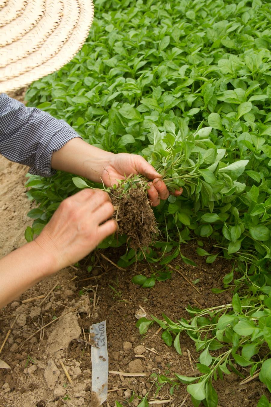 Growing organic indigo -