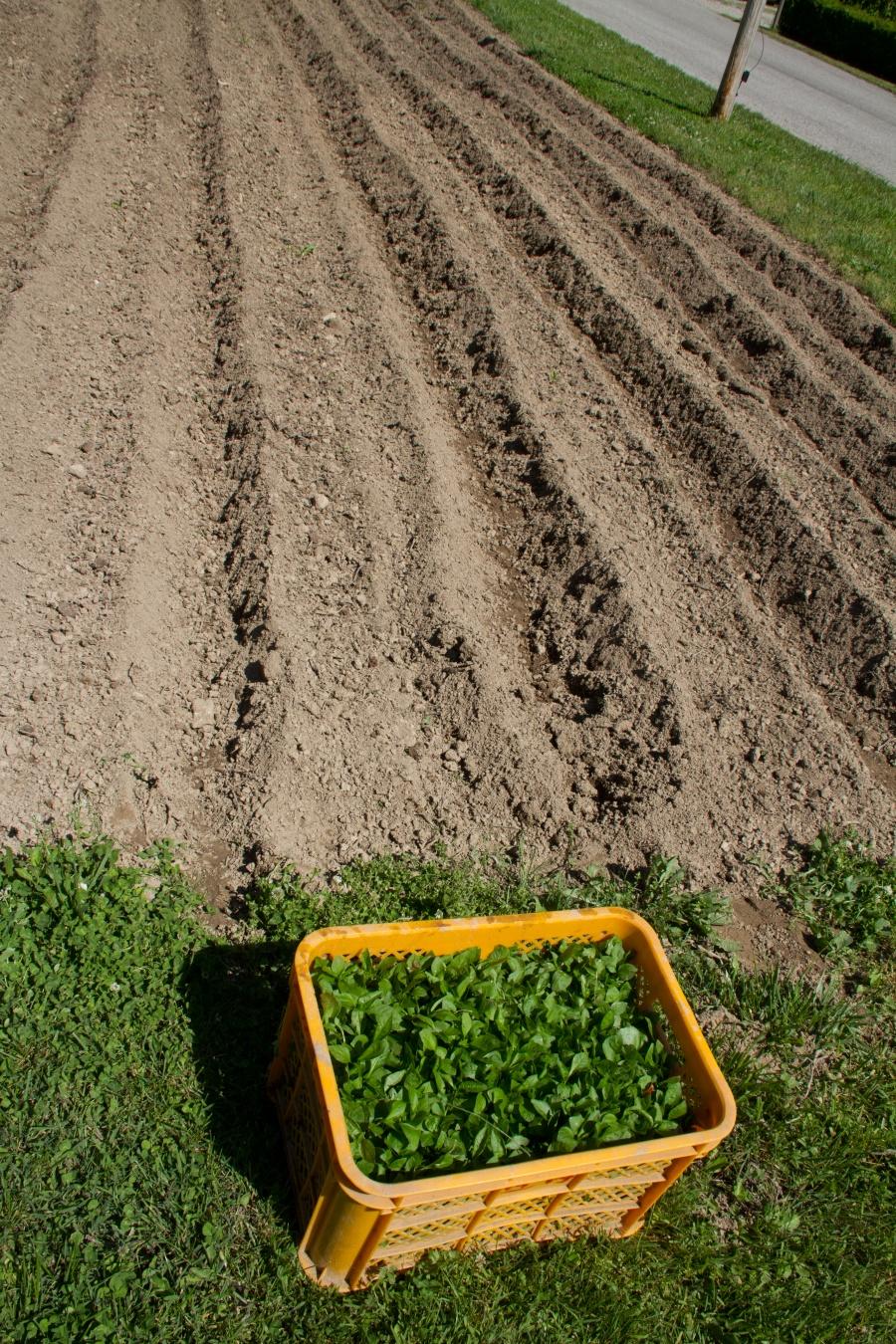 Indigo seedlings ready to be planted
