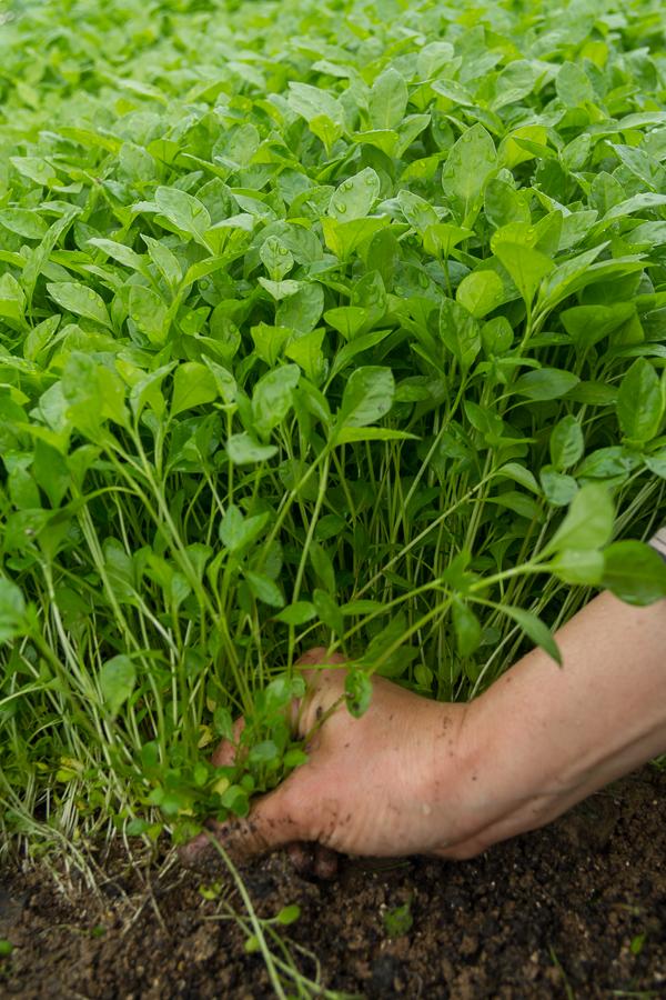 Persicaria tinctoria  (indigo) grown organically by Ricketts Indigo