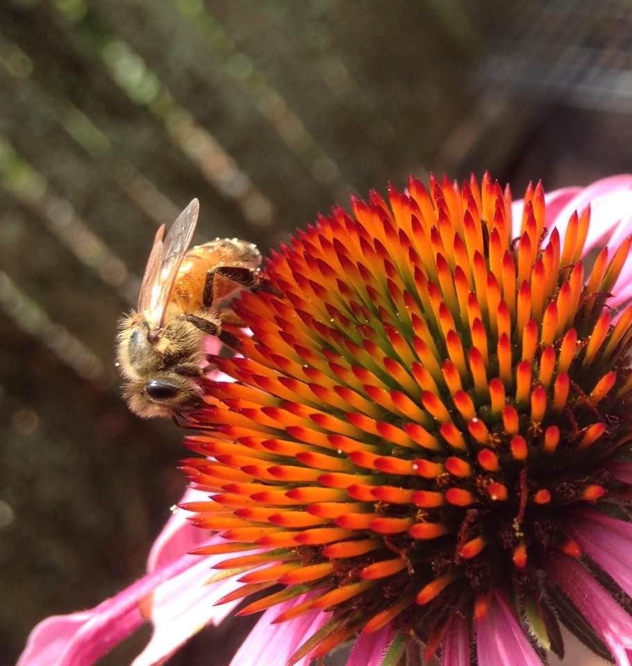 honeybee on coneflower.jpg