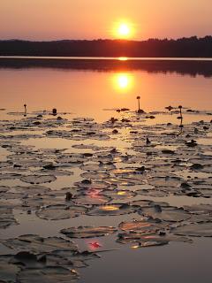 lilypads on lake sunset.JPG