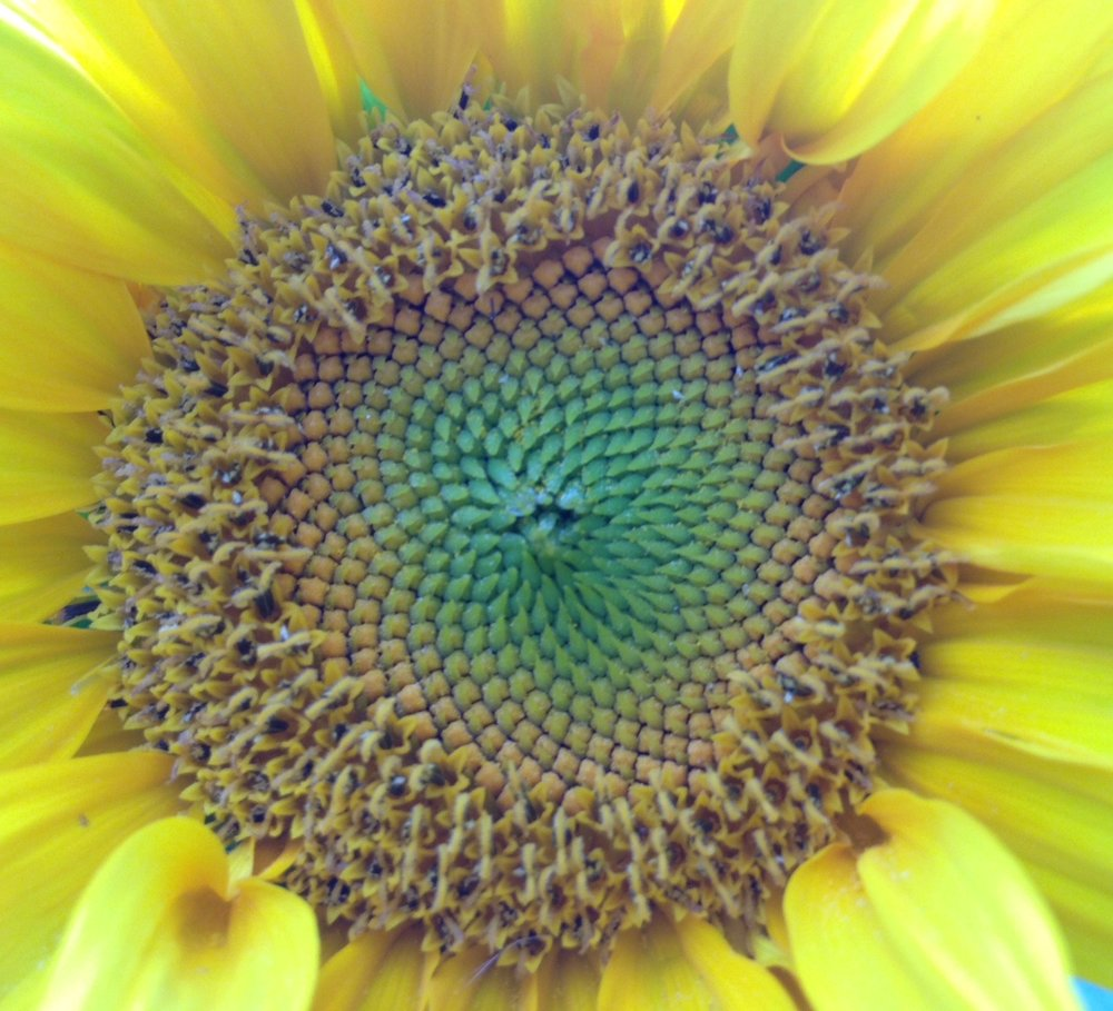 sunflower.jpeg