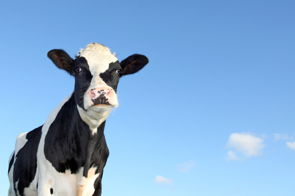 Dairy cow with blue sky