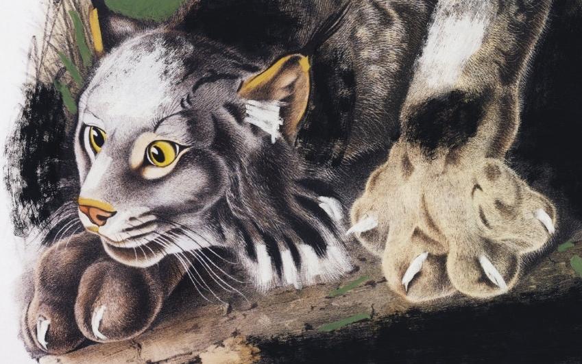 Wilde+Beest+Bobcat.jpg