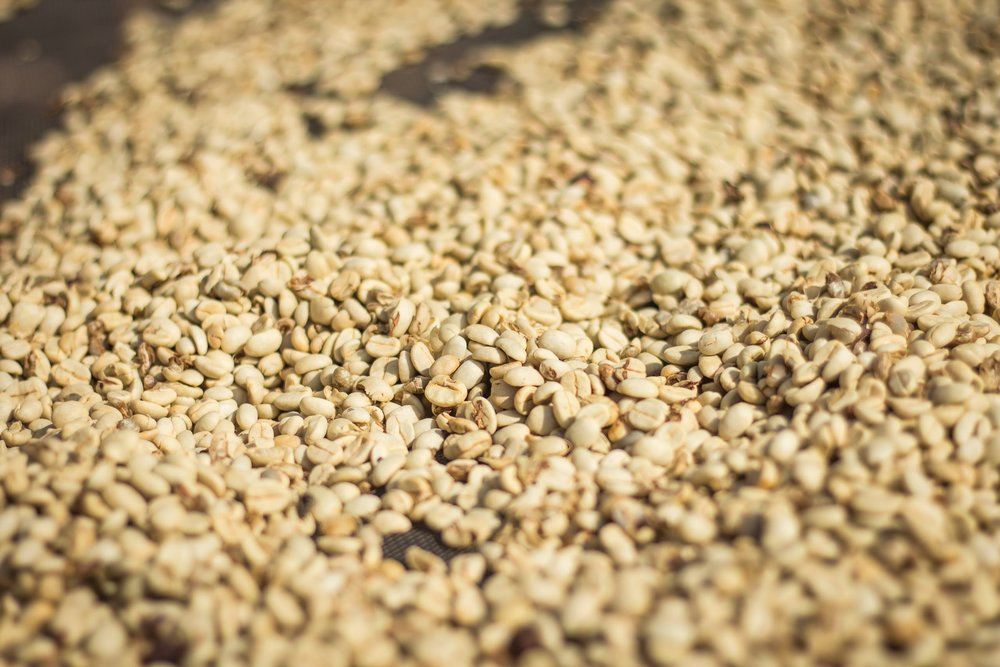 Shelled coffee, drying on racks.