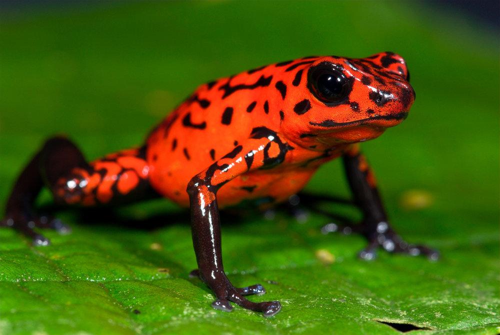 Strawberry-Frog.jpg