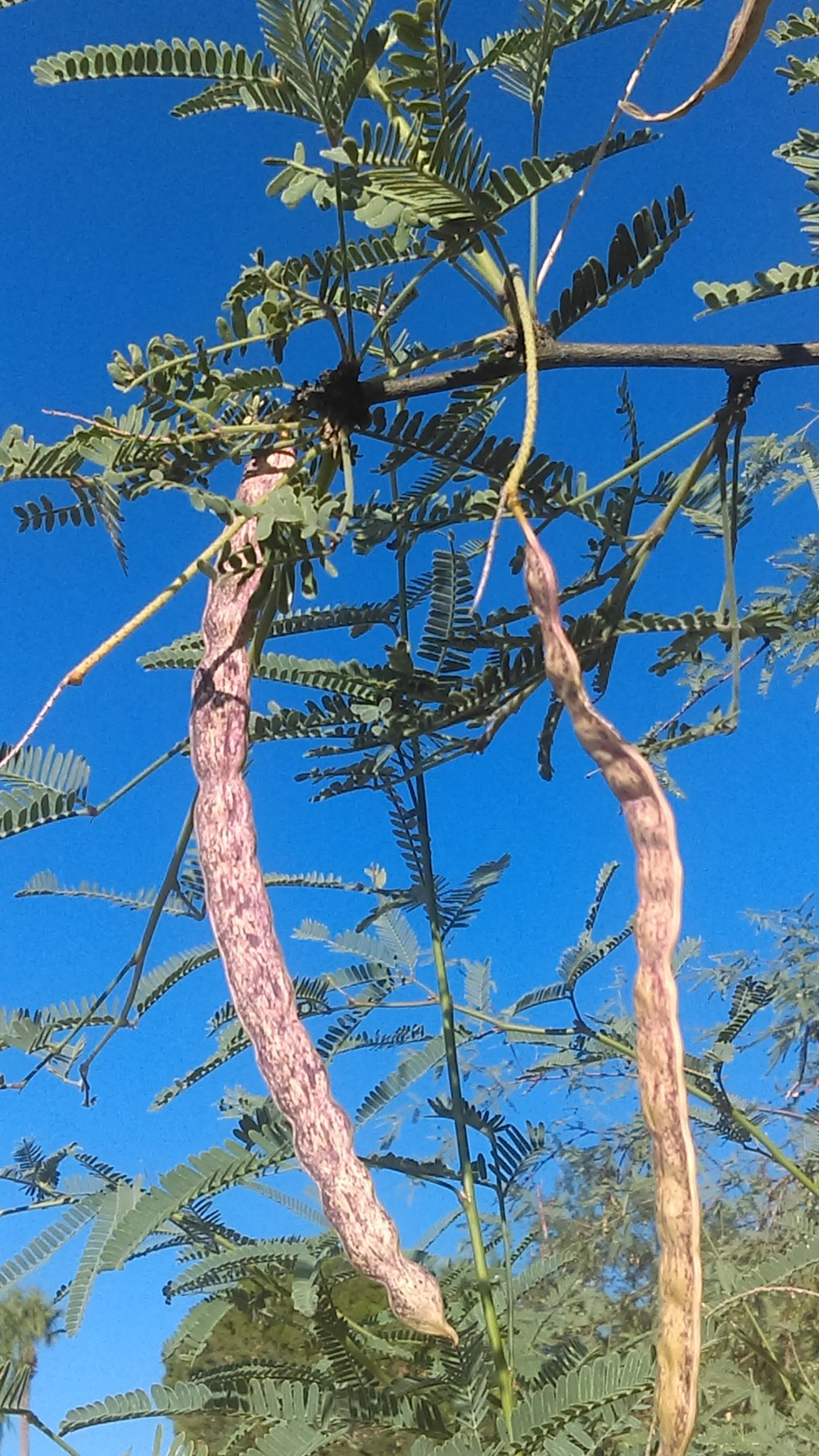 Honey Mesquite pods are a delicious desert superfood