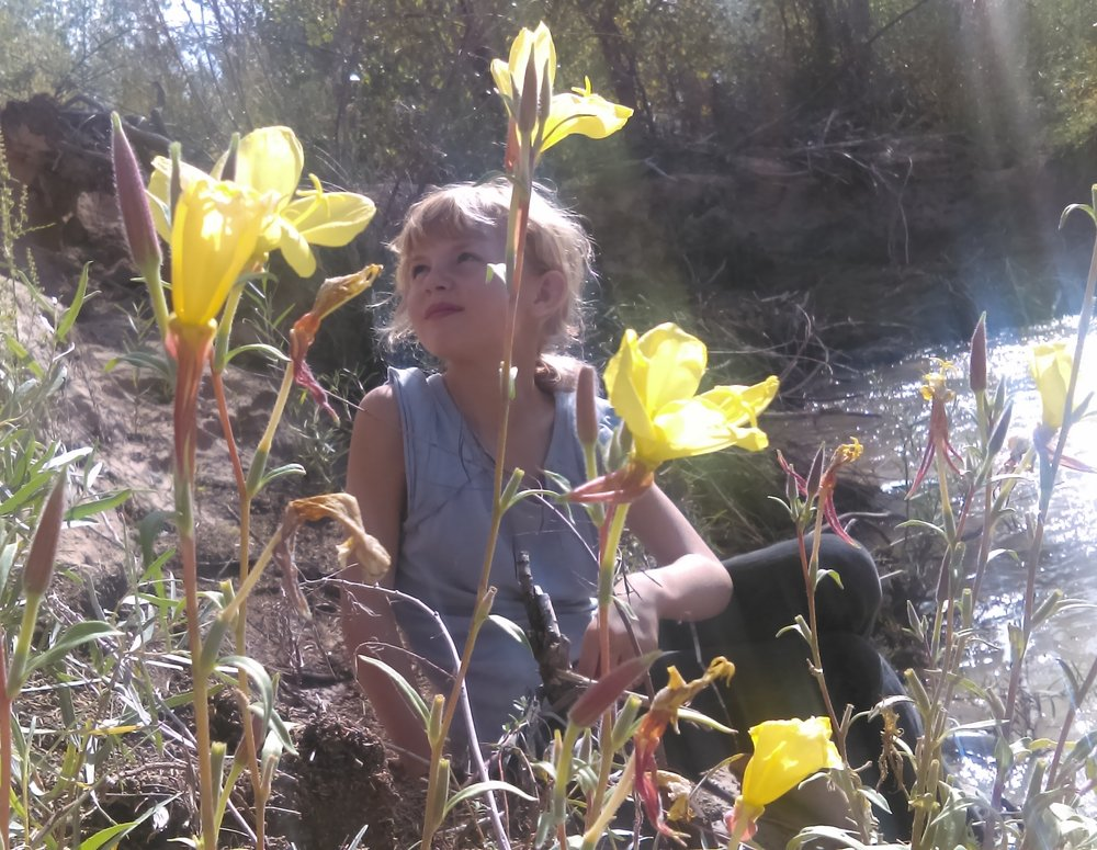 Common evening primrose blooming by Rio Ojo Caliente.