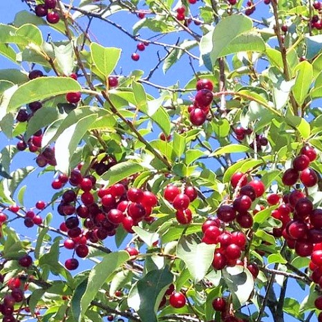 chokecherry.jpg