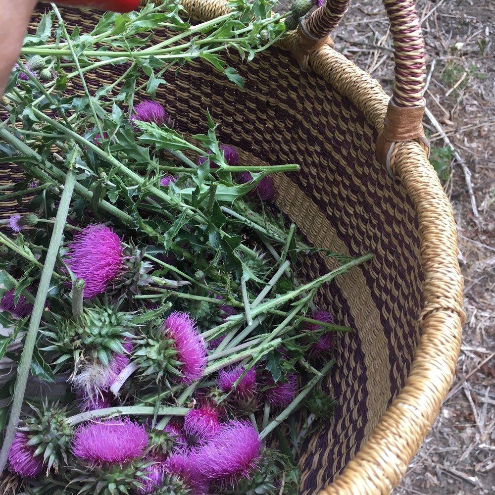 Thistle Harvest