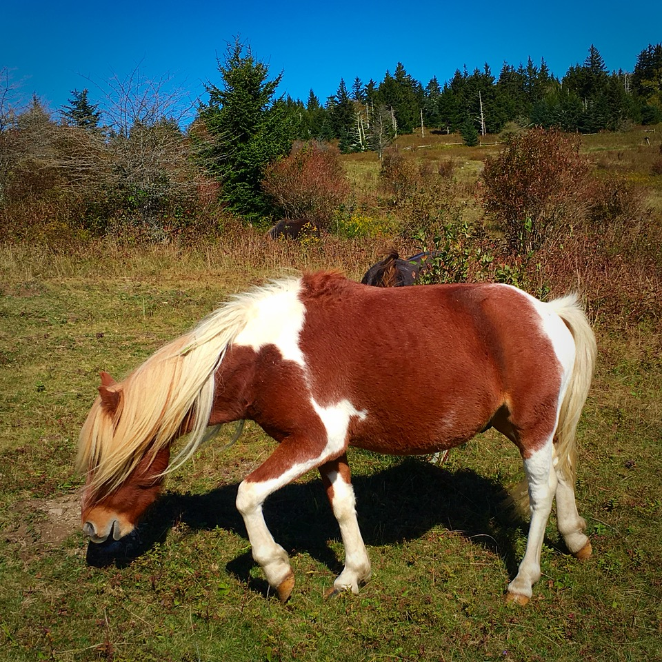 I didn't have any Percheron pics, so enjoy some Grayson Highlands ponies.  One of the highlights of my hike.