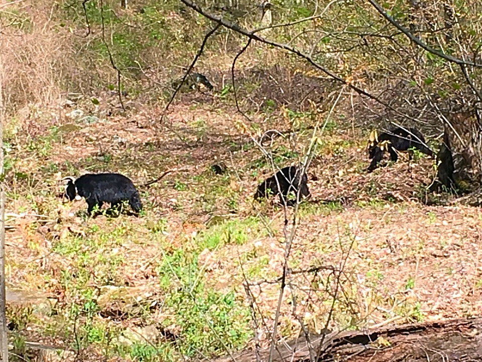 April 30, 2018:  Webb Cove.  Too far away and bears too spread out to get all three yearling cubs on camera.