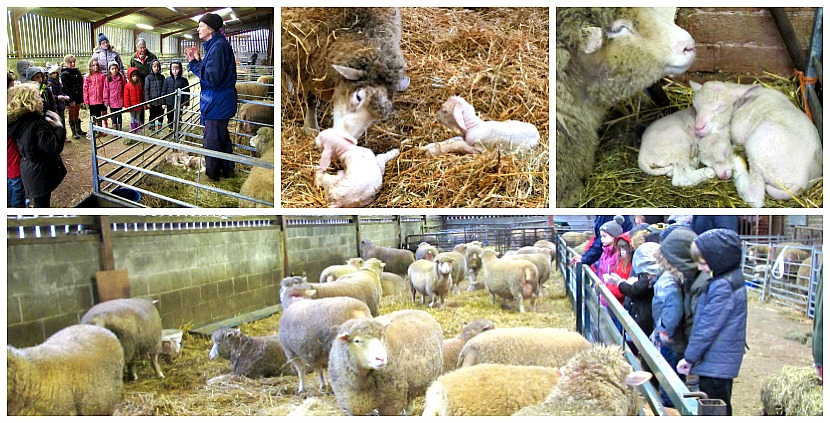 Our local schools learning all about lambing at Home Farm