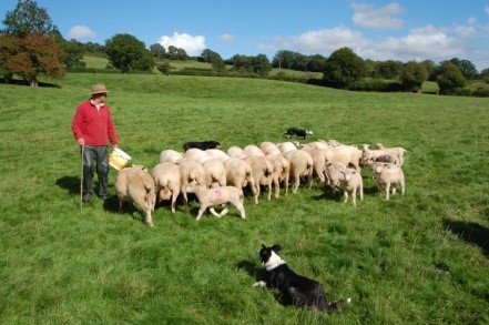 Poll Dorset Sheep Flock