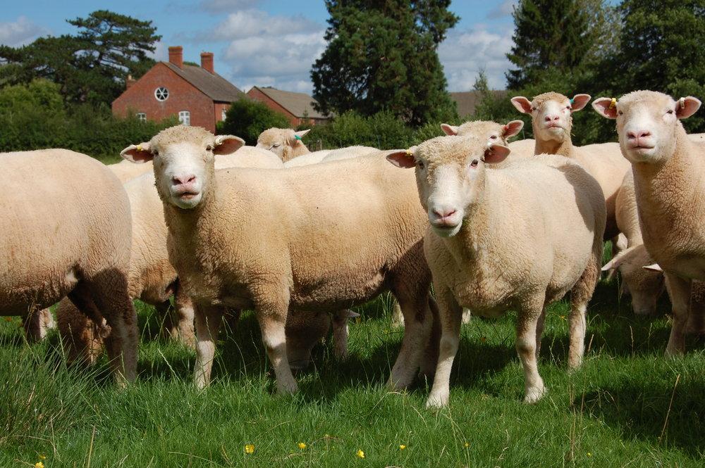 Sheep (6).JPG