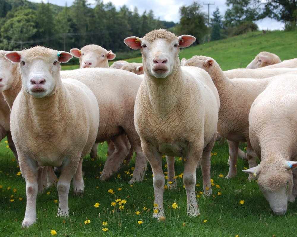 Sheep+%2815%29.jpg