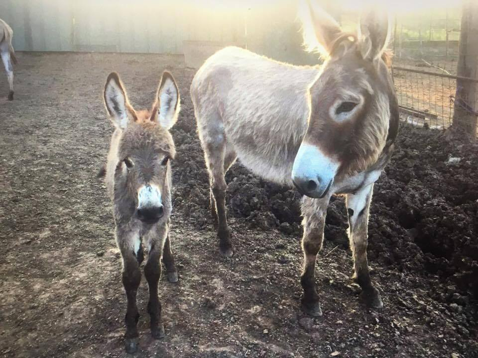 Donkeys $15 per month