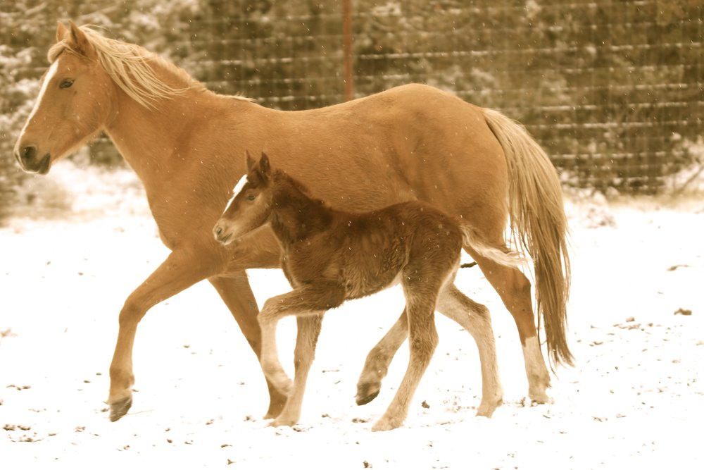 Foal Mariah with Goldie