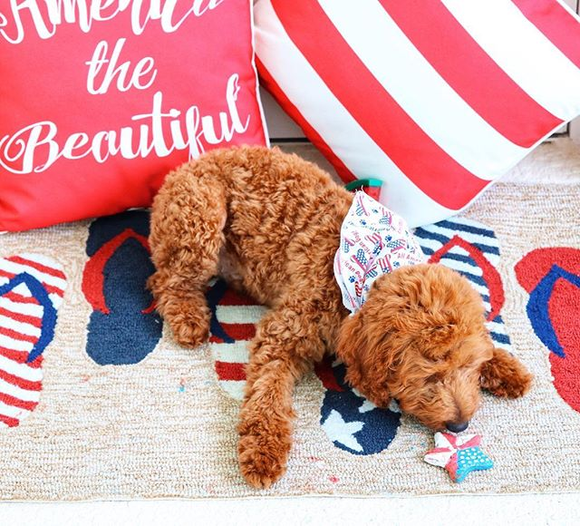 Archie had his 4th of July treat a day early. Just couldn't help how cute he looks! 😍 Rug and pillows are @grandinroad • • • . #indepenceday #patrioticstyle #patrioticpup #redwhiteandblue #america #americanstyle #goldrndoodleofinstagram #goldendoodlesofinsta #instapup #doglovers #grandinroad #americandog #archiescomics #orlandoblogger #homesweethome #mysouthernliving #sunnylife #floridaliving #charming